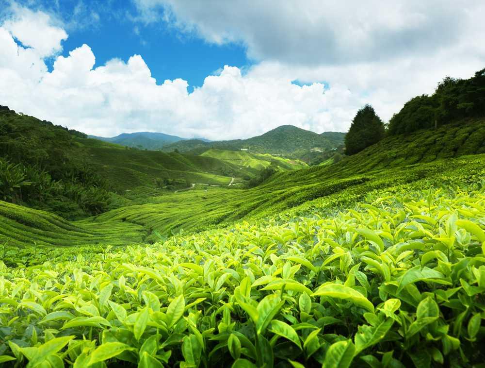 Чай из Шри-Ланки с доставкой в Россию