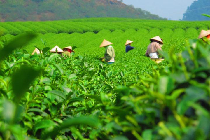 поставщики чая спб